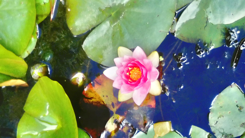 Lily pads and a pink flower in a pond